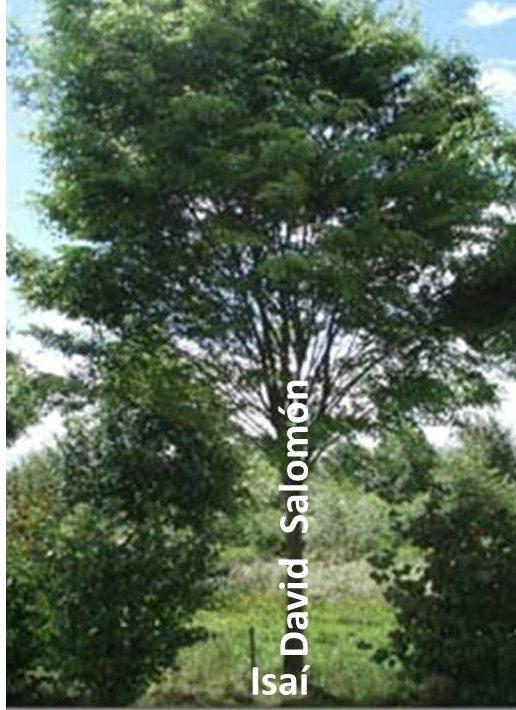 La imagen que Isaías usó de la dinastía como árbol